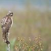 Juvenile red shouldered hawk<br /> Orlando, Florida<br /> <br /> ray@raymondbarlow.com<br /> Nikon D850 ,Nikkor 200-400mm f/4G ED-IF AF-S VR<br /> 1/800s f/4.0 at 400.0mm