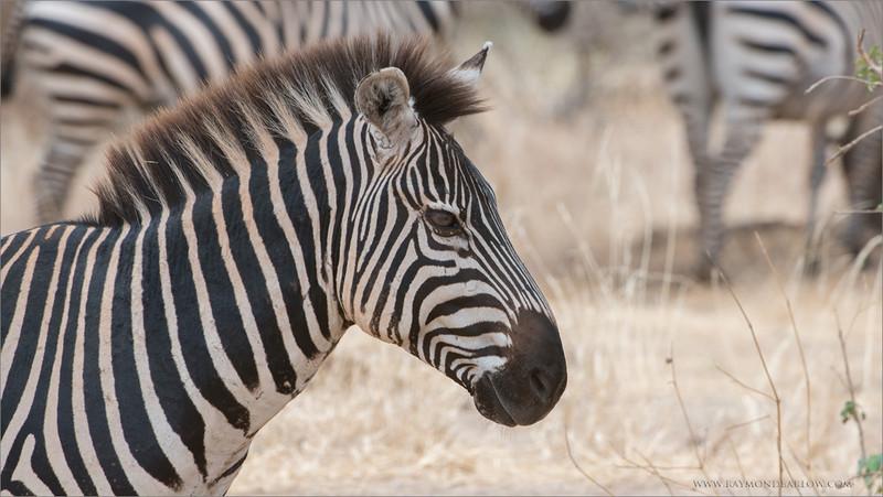 Zebra<br /> RJB Tanzania, Africa Tours<br /> <br /> ray@raymondbarlow.com<br /> 1/400s f/10.0 at 400.0mm iso400