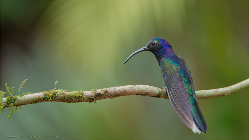 Violet Sabrewing<br /> RJB Colours of Costa Rica Tour<br /> <br /> Pure and Sweet Natural Light!  Respect Nature!<br /> <br /> Special thanks to all of my guests for joining these workshops!<br /> Nikon D800 ,Nikkor 200-400mm f/4G ED-IF AF-S VR<br /> 1/200s f/7.1 at 280.0mm iso400