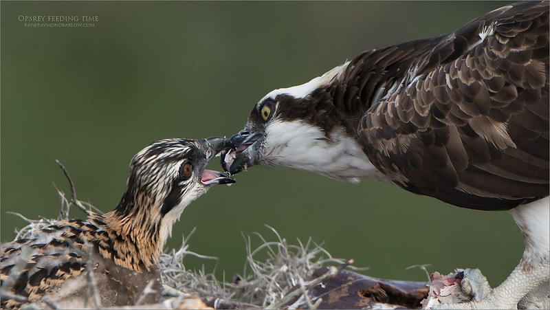 Love Florida! Thanks to my guest Harry Hersh., and for the help - Jack Rogers.<br /> <br /> Osprey feeding time<br /> Orlando, Florida<br /> <br /> ray@raymondbarlow.com<br /> Nikon D850 ,Nikkor 200-400mm f/4G ED-IF AF-S VR<br /> 1/800s f/5.0 at 400.0mm iso320