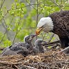 This scene was pretty amazing.  About one hour and ten minutes of feeding, red meat and fish.  Maria had the D800 + 200-400 vr, and for me, the D850 + Swarovski scope with the 95 mm optic.  <br /> <br /> Our lenses were inches apart!  (maybe 12) - great fun for us, in tough heavy overcast conditions.  The Swarovski all manual scope is challenging, and so much fun to shoot with.  With this image I was using the FX crop mode, so about 900 mm in full frame equivalent. <br /> <br /> The feeding time will increase this week, and food will be delivered often as these eaglets grow larger.  I hope to make one more return trip!<br /> <br /> Eagles Nest - feeding time - Swarovski Scope<br /> Raymond Barlow USA Workshops - Wildlife and Nature<br /> <br /> ray@raymondbarlow.com<br /> Nikon D850 ,Swarovski Spotting Scope - 95mm Optic<br /> 1/400s  f9.4  iso1000. Equiv - 900 mm on full frame.