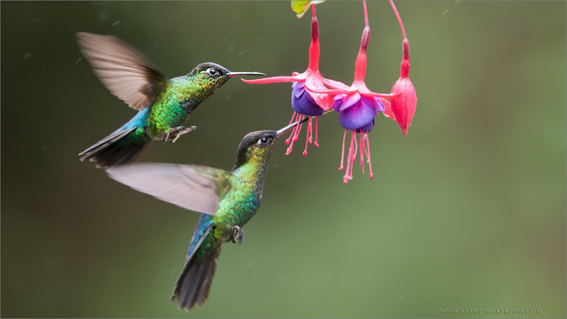 Fiery-throated Hummingbirds in Flight<br /> RJB Colours of Costa Rica Tour<br /> <br /> ray@raymondbarlow.com<br /> 1/500s f/4.0 at 240.0mm iso640