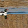 Common Merganser just landed!<br /> <br /> This is my first decent sighing of a Common merganser!   A difficult location with fencing blocking most of the views, we found a small window to shoot through.<br /> <br /> Such a superb looking male, in prime colours, the female is also brilliant.  Hoping to try again soon.<br /> <br /> Taken with the crop mode on the camera, and the 1.4 Teleconverter, so lots of reach, and also a 50% + crop in post-processing!   1260 mm of reach.  Gitzo tripod and Gitzo head.<br /> <br /> Thanks so much for looking!!