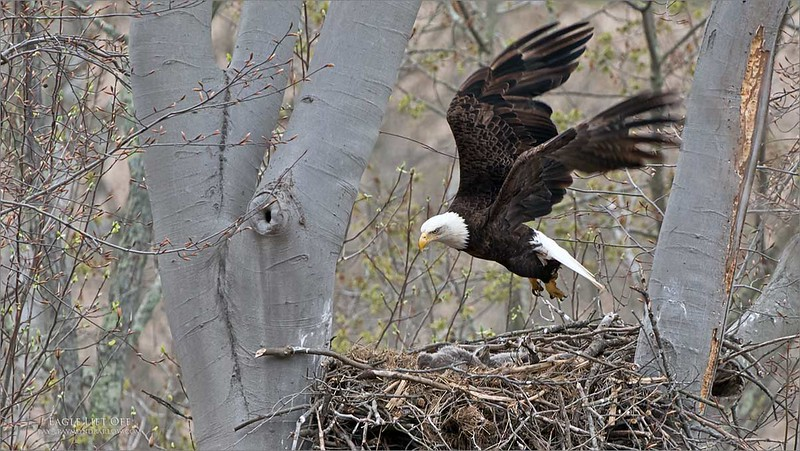 Feeding time is over, so we need a break!<br /> <br /> Bald Eagle Lift off<br /> Raymond Barlow USA - Wildlife and Nature<br /> <br /> ray@raymondbarlow.com<br /> Nikon D850 ,Nikkor 200-400mm f/4G ED-IF AF-S VR<br /> 1/640s f/7.1 at 400.0mm iso800