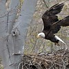 Feeding time is over, so we need a break!<br /> <br /> Bald Eagle Lift off<br /> Raymond Barlow USA - Wildlife and Nature<br /> <br /> ray@raymondbarlow.com<br /> Nikon D850 ,Nikkor 200-400mm f/4G ED-IF AF-S VR<br /> 1/640s f/7.1 at 400.0mm iso800