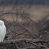 Real, and wild Snowy Owl! - Never baited<br /> <br /> Snowy Owl on a Brush Pile<br /> Ontario, Canada<br /> <br /> ray@raymondbarlow.com<br /> Nikon D850 ,Nikkor 200-400mm f/4G ED-IF AF-S VR<br /> 1/640s f/7.1 at 400.0mm iso500