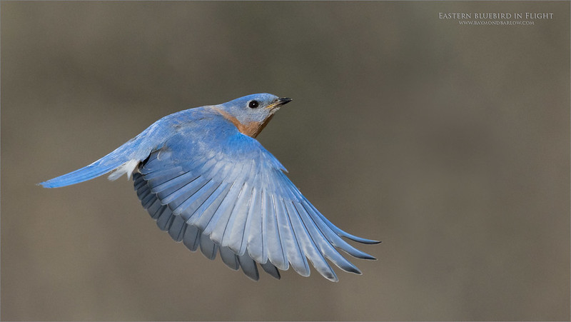 Back to the nest box!<br /> <br /> In a hurry!<br /> <br /> Eastern bluebird rushes back to protect her nesting site, as the starlings and sparrows were knocking on the door.  Challenging and fun!<br /> <br /> I think my neck will be sore for a week!<br /> <br /> This image was taken this morning at a favourite songbird location.  I guess I needed a break from all the Tanzania images.  <br /> <br /> Love real nature.