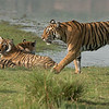 "Four Royal Bengal Tigers - Tiger tours to India are extremely safe, and so much fun. We stay in a very comfortable hotel, with more comfort and great service then one would expect. Our guides, drivers, hotel services are exceptional.<br /> <br /> High local temperatures are surprisingly comfortable with very low humidity at 12 to 15%. The roads can be bumpy, and dusty, but the reward is superb! At least 2,000 images of tigers during our 15 safaris! So many to choose from, so I do plan to be posting a few over the next couple of weeks if I have time.<br /> <br /> We leave for Costa Rica Thursday, so life is busy!<br /> <br /> Safe travels everyone, more soon!<br /> <br /> Thanks for looking!<br /> <br /> 4 Royal Bengal Tigers<br /> RJB India Tours<br />  <a href=""http://www.raymondbarlow.com"">http://www.raymondbarlow.com</a><br /> 1/2000s f/6.3 at 340.0mm iso1250"