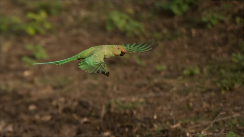 Rose-ringed parakeet<br /> RJB India Photo Tours<br /> <br /> ray@raymondbarlow.com<br /> 1/3200s f/4.0 at 400.0mm iso1000