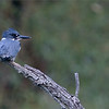 Belted Kingfisher Series - 4 of 4<br /> <br /> Equipment supported by Jobu Design Tripods and Gimbal heads<br /> Contact me for more info on discount pricing!<br /> <br /> We drove to a nice pond that has been  busy with a kingfisher family, and we had some luck!   I believe this is a first year bird, learning to hunt for itself.<br /> <br /> It seemed to be very comfortable with my lens on it for about 40 minutes.  After many shots, she then she flew over to have a close look at me, much to my surprise.<br /> <br /> I will share a few more shots from this encounter, coming this week.  for me, this is easily the most difficult bird to capture here in Ontario, Canada,   So I was happy to catch a few shots.<br /> <br /> Also, using the 1.4 tele-converter, and the apc-c sensor setting on the camera gave me some extra reach.  She was close to 60 yards away!<br /> <br /> Thanks for looking!<br /> <br /> raymondjbarlow@yahoo.ca