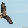Bald Eagle in Flight - Florida<br /> <br /> Florida Tour<br /> ray@raymondbarlow.com<br /> Nikon D810 ,Nikkor 600 mm f/4 ED<br /> 1/6400s f/6.3 at 600.0mm iso1600