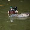 Wood Duck Couple<br /> Nikon D800 ,Nikkor 200-400mm f/4G ED-IF AF-S VR<br /> 1/500s f/4.0 at 400.0mm iso1600