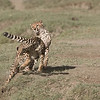 Cheetahs at Play Series 12 Shots  - Image 1-12<br /> <br /> A bit of a long story, but this morning of February 12th, 2018 was pretty amazing for our group. Our advance scouts found a mother cheetah, and her two cubs, about 10 minutes from our camp. We arrived at the scene, and fired several images of the three of them finishing their kill, then licking each others faces.<br /> <br /> Next, they were on the move, so I was looking off to the distance on my right, I saw they were heading for water. Easily keeping in front of their track, we maneuvered into several seriously good angles for photography.<br /> <br /> So here, I have skipped to the play fight... after they had all drank some water, the 2 cubs began to jump around and carry on like kittens.<br /> <br /> 165 images later, I was almost in shock.. the D850 captured every image in excellent focus and exposure. Early am harsh light was not bad, the environment was sweet, and the action intense!<br /> <br /> With this particular scene, we saw and captured a giant leap, one cheetah thought it was a bird for a second! Here are the first 3 shots, the next 3 shots show the cheetah even higher in the air, and landing... I will try to add the next three tomorrow.<br /> <br /> This reminds me of the Great Tiger battle, take a few years ago in India, with Margaret Keller. that too was pretty awesome to see.<br /> <br /> Somehow, luck follows me around., I can't explain that. I thank my brother Nas for getting me started in Tanzania!<br /> <br /> Thanks for looking.<br /> <br /> Cheetah Siblings at Play<br /> Raymond Barlow Photo Tours to Tanzania Wildlife and Nature<br /> Nikon D850 ,Nikkor 200-400mm f/4G ED-IF AF-S VR<br /> 1/4000s f/5.0 at 400.0mm iso400