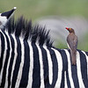 Free-loader!<br /> <br /> Nasty birds in a way, as they will take advantage of open sores on a zebra, and make them worse by feeding on their blood!  In the Ngorongoro Crater we are able to see these animals and birds so close, they wander over to the roadside to feed, as they are not disturbed by the safari truck!! <br /> <br /> Oxpeckers will clean the ticks and bugs too, so for the most part they are helpful to these animals. And they make for some interesting images too!<br /> <br /> Red-billed oxpecker<br /> Tanzania, Africa<br /> <br /> February 2020 Tanzania 10 day Photo tour!<br /> ray@raymondbarlow.com<br /> Nikon D850 ,Nikkor 200-400mm f/4G ED-IF AF-S VR<br /> 1/3200s f/5.6 at 400.0mm iso1000