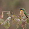 Little Bee-eater<br /> RJB Tanzania, Africa Tours<br /> <br /> ray@raymondbarlow.com<br /> 1/200s f/8.0 at 400.0mm iso400