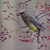 Cedar Waxwing<br /> <br /> Maria and I lucked out in a pretty woodland lot as about 40 waxwings decided to feed on these berries.  I am pretty sure I fired close to 800 frames, and may likely edit one more image!  That is a lot of effort for a couple shots!  <br /> <br /> Many of these birds were first year, with mottled feathers, so i won't be editing those shot I do not think.  <br /> <br /> I am always amazed at the texture of their feathers, so smooth, and clean, with such wonderful colours.  And we could hear such a cute song too.<br /> <br /> Awesome and real nature!<br /> <br /> Thanks for looking!