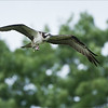 Osprey in Flight with Perch<br /> Raymond's Ontario Nature Photography Tours<br /> <br /> ray@raymondbarlow.com<br /> Nikon D810 ,Nikkor 200-400mm f/4G ED-IF AF-S VR<br /> 1/3200s f/4.0 at 400.0mm iso1250