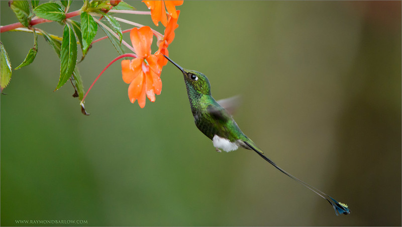 Booted Racket-tail<br /> <br /> Ecuador Photo Tours<br /> ray@raymondbarlow.com<br /> Nikon D800 ,Nikkor 200-400mm f/4G ED-IF AF-S VR<br /> 1/1000s f/4.0 at 330.0mm iso2500