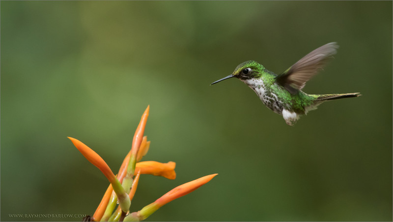 Female Booted racket-tail in Flight #hummingbird  <br /> Raymond's Ecuador Photography Tours<br /> <br /> A tiny princess floating into this flower for a snack.<br /> Please enjoy and respect Nature.<br /> <br /> ray@raymondbarlow.com<br /> Nikon D810 ,Nikkor 200-400mm f/4G ED-IF AF-S VR<br /> 1/640s f/6.3 at 360.0mm iso2500