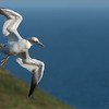 """Northern Gannet - Newfoundland<br /> Raymond's Newfoundland Photo Tours<br /> <br /> Pure Freedom!<br /> <br />  <a href=""""http://www.raymondbarlow.com"""">http://www.raymondbarlow.com</a><br /> Nikon D810 ,Nikkor 200-400mm f/4G ED-IF AF-S VR<br /> 1/3200s f/6.3 at 400.0mm iso800"""