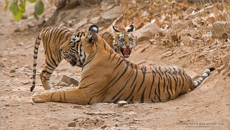 Wild Tiger Photo Tours<br /> <br /> Tigress and her angry cub<br /> India<br /> <br /> ray@raymondbarlow.com<br /> Nikon D810 ,Nikkor 200-400mm f/4G ED-IF AF-S VR<br /> 1/320s f/8.0 at 400.0mm iso2000
