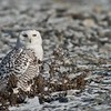 Shoreline Snowy Owl<br /> Ontario, Canada<br /> <br /> Owl tours and prints!<br /> ray@tigerprints.net<br /> Nikon D800 ,Swarovski Spotting Scope - 95mm Optic<br /> 1/2500s f/9.5 iso1000