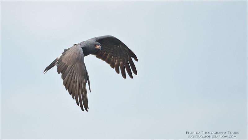 Snail Kite - Florida Tours<br /> Raymond Barlow Photo Tours to USA - Wildlife and Nature<br /> <br /> ray@raymondbarlow.com<br /> Nikon D810 ,Nikkor 600 mm f/4 ED<br /> 1/2000s f/4.0 at 600.0mm iso1000