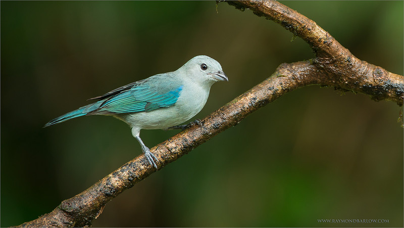Blue Gray Tanager<br /> RJB Costa Rica Tours<br /> <br /> ray@raymondbarlow.com<br /> Nikon D800 ,Nikkor 200-400mm f/4G ED-IF AF-S VR<br /> 1/80s f/4.0 at 400.0mm iso320