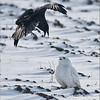 "A Crow and an Owl<br /> Raymond's Ontario Nature Tours<br /> <br />  <a href=""http://www.raymondbarlow.com"">http://www.raymondbarlow.com</a><br /> ray@raymondbarlow.com<br /> Nikon D810 ,Swarovski Spotting Scope 95 mm<br /> 1/2000s f/8.5 iso640"
