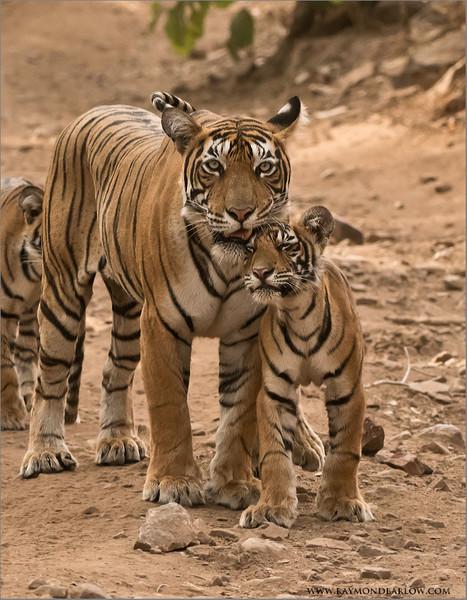 Tigress T60 and her Cub<br /> Raymond's Wild Tiger Photography Tours<br /> <br /> ray@raymondbarlow.com<br /> Nikon D810 ,Nikkor 200-400mm f/4G ED-IF AF-S VR<br /> 1/640s f/6.3 at 200.0mm iso2000