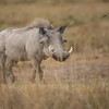 Warthog in Ngorogoro Crater<br /> RJB Tanzania, Africa Tours<br /> <br /> ray@raymondbarlow.com<br /> 1/3200s f/4.0 at 350.0mm iso400