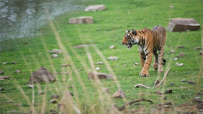 Royal Bengal Tiger looking for a Fight<br /> RJB India Photo Tours<br /> <br /> Tiger Photo Tours<br /> ray@raymondbarlow.com<br /> Nikon D800 ,Nikkor 200-400mm f/4G ED-IF AF-S VR<br /> 1/1600s f/4.0 at 400.0mm iso2500