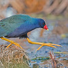 Purple Gallinule in Florida<br /> <br /> Such awesome colours on this beautiful marsh bird. <br /> <br /> Thanks for looking!