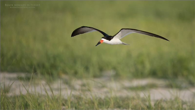 Black_Skimmer in Flight<br /> Long Island - NY<br /> <br /> ray@raymondbarlow.com<br /> Nikon D850 ,Nikkor 200-400mm f/4G ED-IF AF-S VR<br /> 1/4000s f/4.0 at 400.0mm iso500