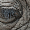 Elephant Eye with the Swarovski Spotting Scope in Tanzania