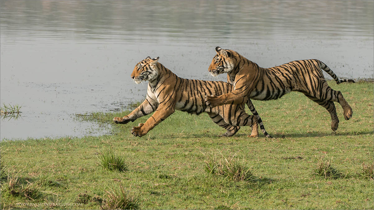"""Thanks to India!  Tiger Photo Tours are so awesome!<br /> <br /> Thanks to my friends Anu, Ravindra, and Arvind here at the Ranthambore Regency Hotel, great service, superb place to stay while on tiger tours!<br /> <br /> We are having a great time!! Superb wildlife!<br /> Thanks to my great friend Thomas Vijayan ... for helping me make this all possible!<br /> <br /> Tigers on the Run 3<br /> RJB India Tours<br />  <a href=""""http://www.raymondbarlow.com"""">http://www.raymondbarlow.com</a><br /> <br /> #wildlife #nature"""