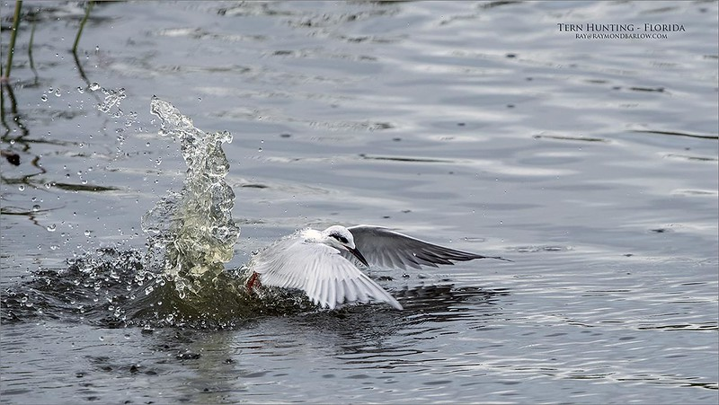 Foresters Tern Fishing<br /> Florida<br /> <br /> ray@raymondbarlow.com<br /> Nikon D850 ,Nikkor 200-400mm f/4G ED-IF AF-S VR<br /> 1/2000s f/7.1 at 400.0mm iso1600