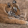 Royal Bengal Tiger Portrait<br /> Raymond's Wild Tiger Photography Tours<br /> <br /> superb and real nature.<br /> <br /> ray@raymondbarlow.com<br /> Nikon D810 ,Nikkor 200-400mm f/4G ED-IF AF-S VR<br /> 1/400s f/5.6 at 400.0mm iso1600