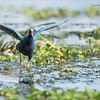 Purple Gallinule on the run!