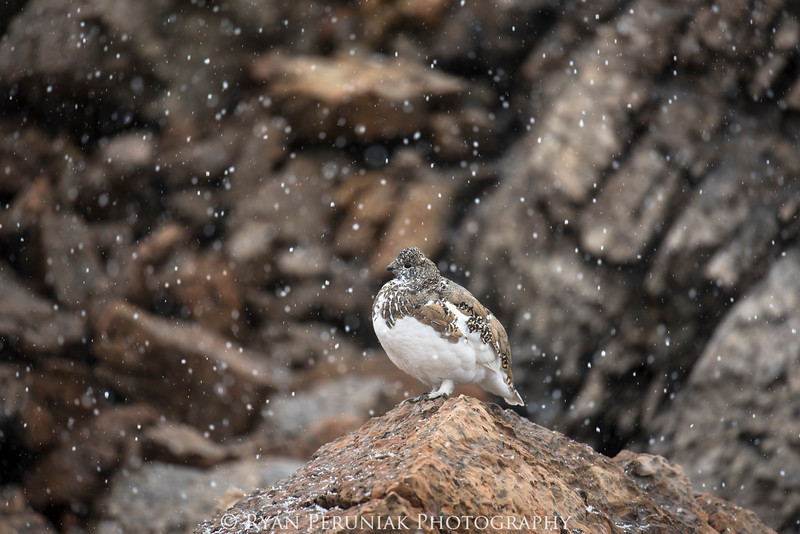 We were hiking to a high alpine pass when we got hit with a September snow squall. Both visibility and temperature plummeted. Instead of looking up to the lofty peaks surrounding us, I returned my gaze to the ground and noticed a very camouflaged bird walk out of the snow and into a boulder field. The White-tailed Ptarmigan is the only bird in North America that remains exclusively in alpine/upper subalpine habitats year round, and they are almost constantly molting to blend into their environment, becoming pure white during winter months.<br /> <br />  I stood still for a long time watching the ptarmigan slowly move amongst the rocks as the snow continued to fall heavily around us. I was so focused on watching the ptarmigan and taking photos that I hadn't noticed how cold I had gotten. It was time to start moving again. Shivering, I pulled the hood of my jacket over my head, and in doing so, dumped all the snow that had accumulated on the hood straight down my neck! I muttered something about not being ready for winter yet, and heard a soft clucking sound coming from the direction of the ptarmigan as I walked away.