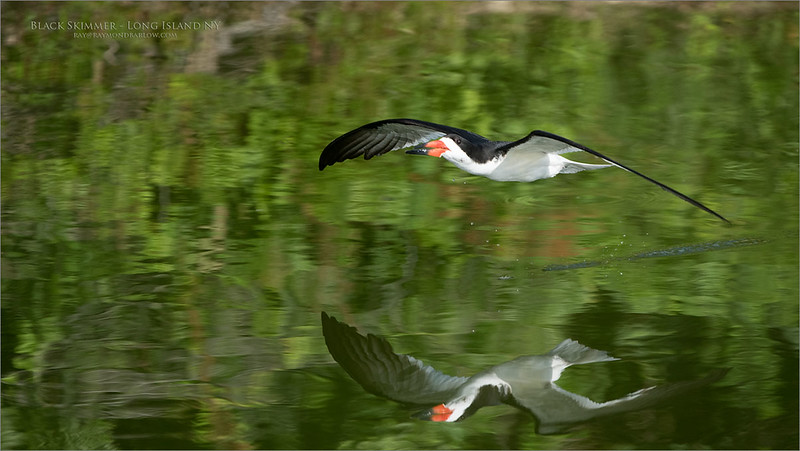"Join me on Long Island. NY for an exclusive ""Birds in Flight"" workshop!<br /> August 3-5th - 2018 Fee $750.00 USD per guest.<br /> Fee includes 3 days of workshops and instruction only.<br /> <br /> Black skimmer - Long Island NY<br /> Flight workshops with Raymond!<br /> <br /> ray@raymondbarlow.com<br /> Nikon D850 ,Nikkor 200-400mm f/4G ED-IF AF-S VR<br /> 1/3200s f/5.6 at 360.0mm iso1000"