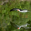 """Join me on Long Island. NY for an exclusive """"Birds in Flight"""" workshop!<br /> August 3-5th - 2018 Fee $750.00 USD per guest.<br /> Fee includes 3 days of workshops and instruction only.<br /> <br /> Black skimmer - Long Island NY<br /> Flight workshops with Raymond!<br /> <br /> ray@raymondbarlow.com<br /> Nikon D850 ,Nikkor 200-400mm f/4G ED-IF AF-S VR<br /> 1/3200s f/5.6 at 360.0mm iso1000"""