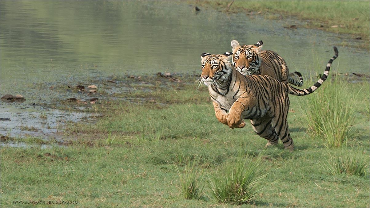 """Tigers on the Run<br /> RJB India Tours<br /> <br />  <a href=""""http://www.raymondbarlow.com"""">http://www.raymondbarlow.com</a><br /> 1/640s f/11.0 at 250.0mm iso1250"""