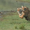 "Tigers on the Run<br /> RJB India Tours<br /> <br />  <a href=""http://www.raymondbarlow.com"">http://www.raymondbarlow.com</a><br /> 1/640s f/11.0 at 250.0mm iso1250"