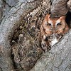 Eastern screech owl<br /> <br /> Another visit to see this beauty last week,  And a long exposure in a breeze made things difficult!  Always worth a try regardless.<br /> <br /> Thanks for looking!