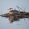 Red-necked Grebe Nest<br /> Raymond's Ontario Nature Photography Tours<br /> <br /> ray@raymondbarlow.com<br /> Nikon D810 ,Nikkor 200-400mm f/4G ED-IF AF-S VR<br /> 1/200s f/4.0 at 400.0mm iso125