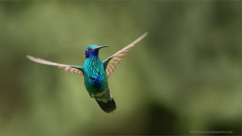 """Hummingbird in Flight!<br /> <br /> All natural light!<br /> <br /> A wonderful tour and fantastic guests in Ecuador during this past January, the very first tour for me to host in this beautiful country.<br /> <br /> Join me and my group in November 2015??<br /> <br /> We still have room for you.<br /> <br /> Sparkling Violet-ear<br /> RJB Ecuador Tours<br />  <a href=""""http://www.raymondbarlow.com"""">http://www.raymondbarlow.com</a><br /> 1/2000s f/4.0 at 400.0mm iso1600"""