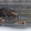 Canadian Beaver shaking off the Water!<br /> Raymond's Ontario Nature Photography Tours<br /> <br /> ray@raymondbarlow.com<br /> Nikon D850 ,Nikkor 200-400mm f/4G ED-IF AF-S VR<br /> 1/2000s f/4.0 at 400.0mm iso320