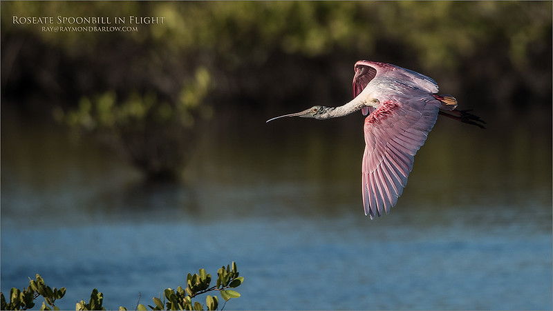 Roseate Spoonbill - Florida Tours