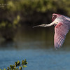 Roseate Spoonbill in Flight<br /> Raymond Barlow Photo Tours to USA - Wildlife and Nature<br /> <br /> ray@raymondbarlow.com<br /> Nikon D810 ,Nikkor 600 mm f/4 ED<br /> 1/3200s f/4.0 at 600.0mm iso200